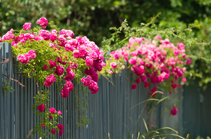 Pink roses growing along a thin slatted fence