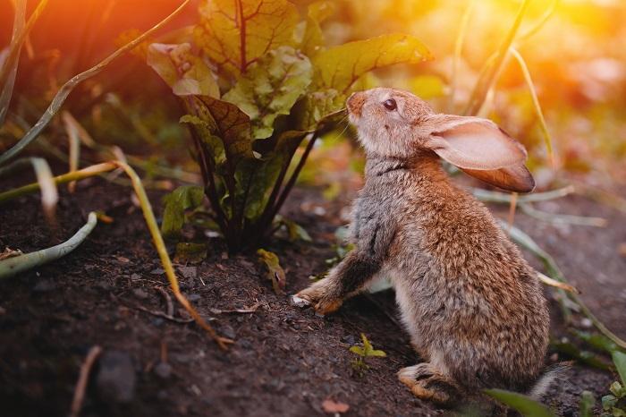 rabbit eating  garden