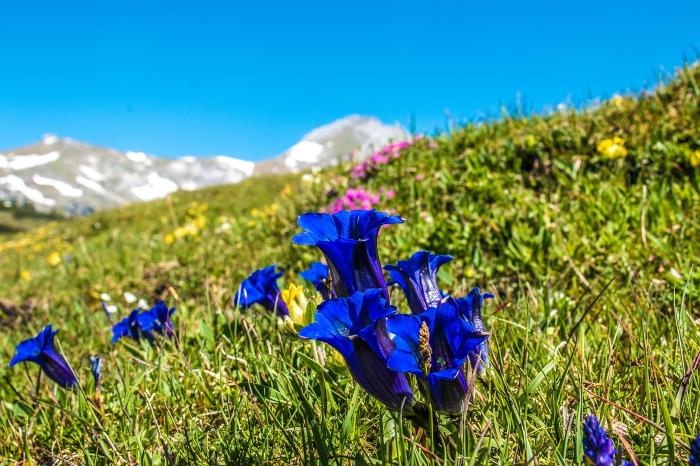 gentian blooms
