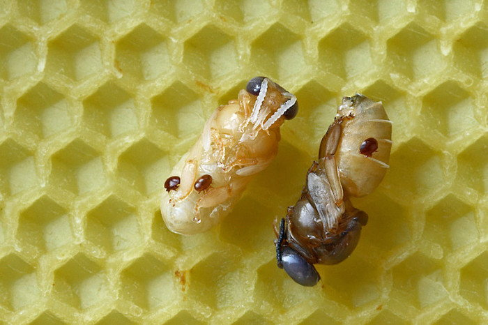 bee pupae with mites attached