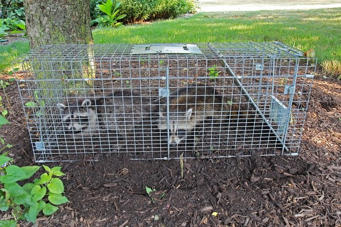 humanely trapped raccoons
