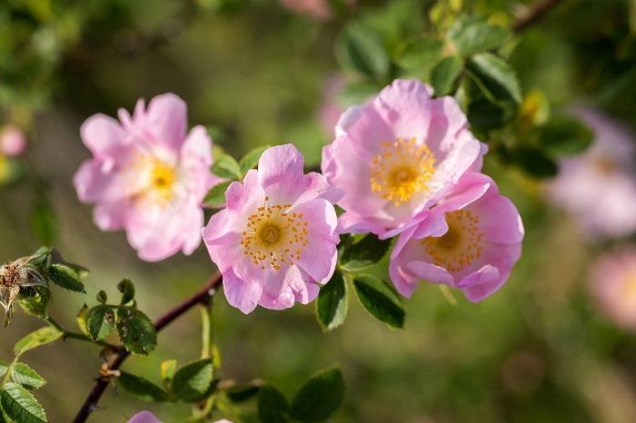 dog-roses