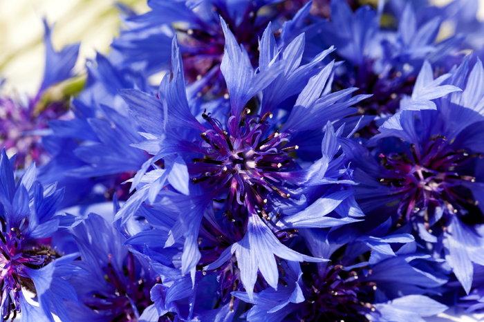 Cornflower Blossoms