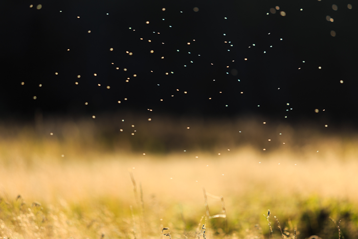Lawn gnat swarm above grass