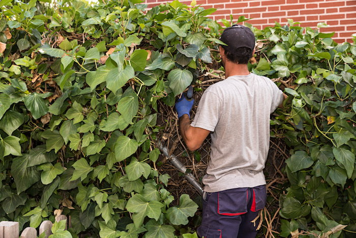pruning a wall of ivy