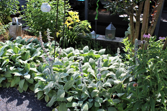 lamb's ear in the garden