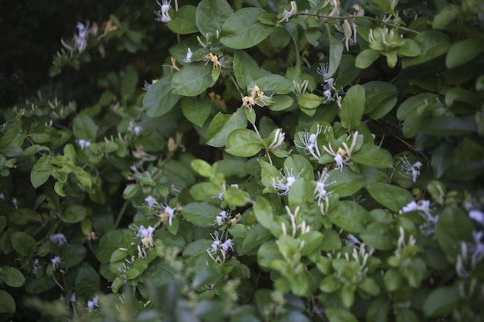 honeysuckle vining plant