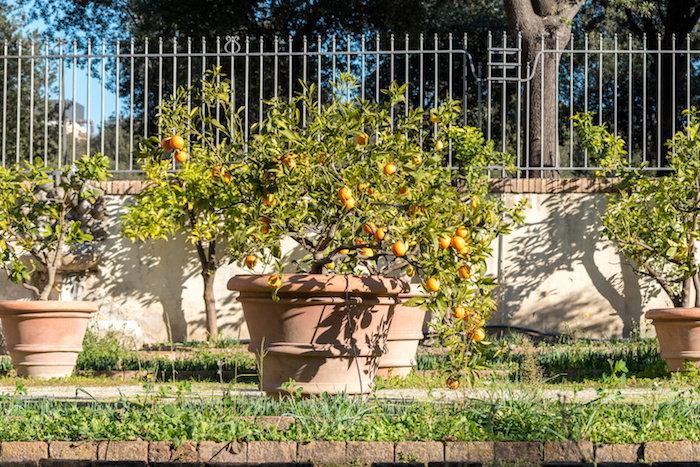tangerine trees in pots