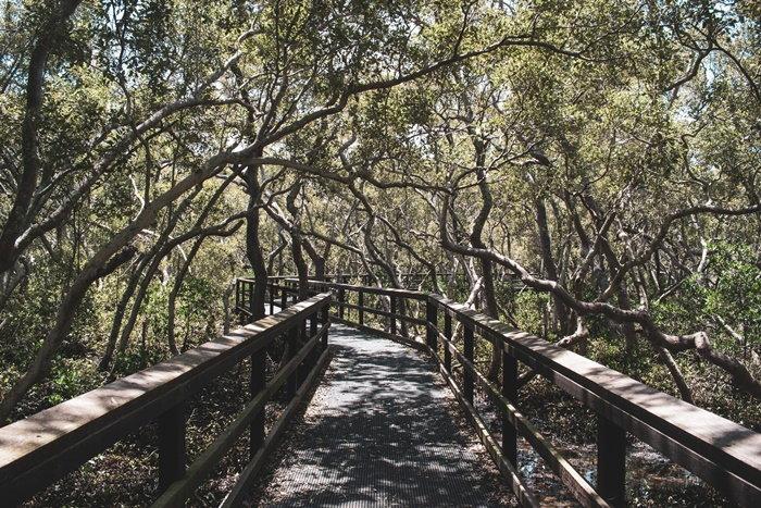 wooden walkway through a mangrove swamp