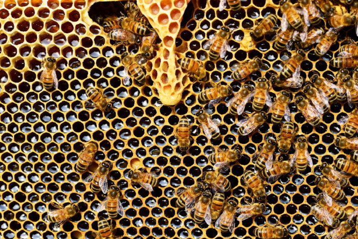 bees working in honeycomb