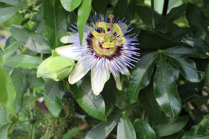 blue passionflower blooms