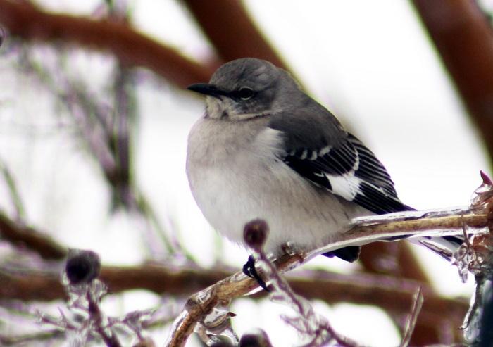 mockingbird in icy tree