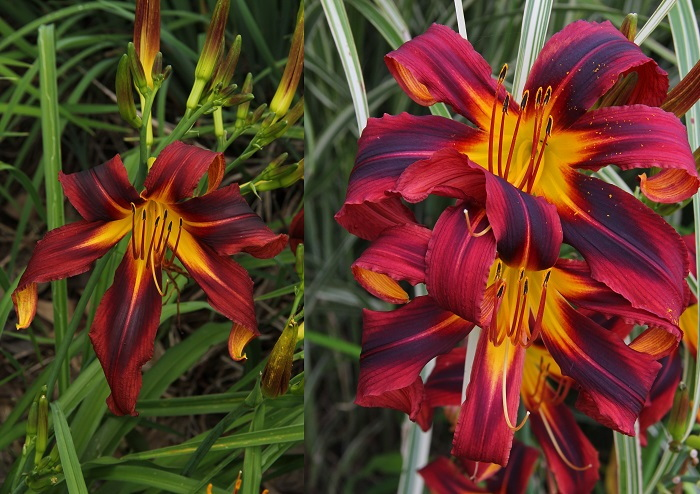 composition example of daylily images
