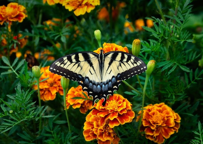 tiger swallowtail and orange marigolds
