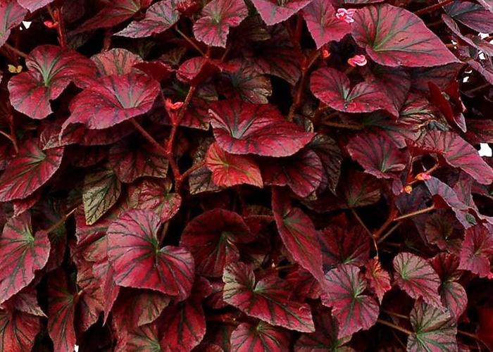red rex begonia leaves