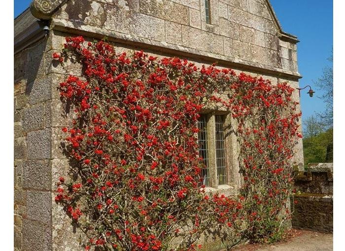 flowering quince espalier