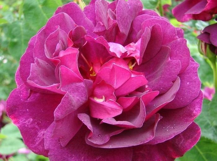 chanti rose
