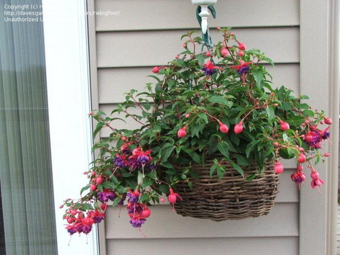 hanging fuchsia basket