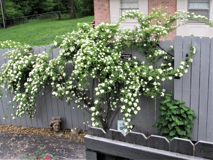 rose bush agaist a wall