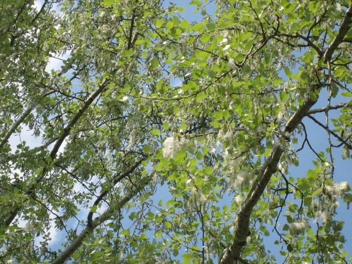 Poplar branches with fluff