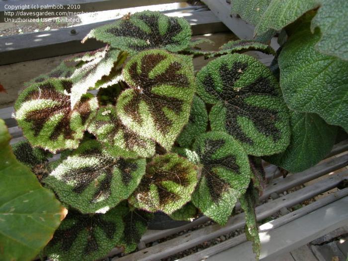green rex begonia with dark centers