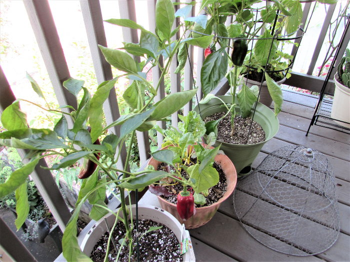 peppers growing on a deck