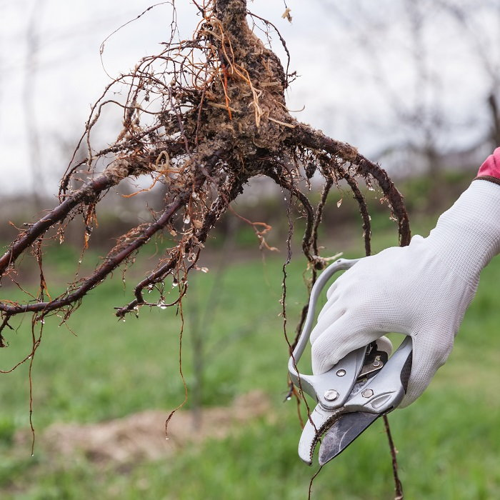 pruning tree roots