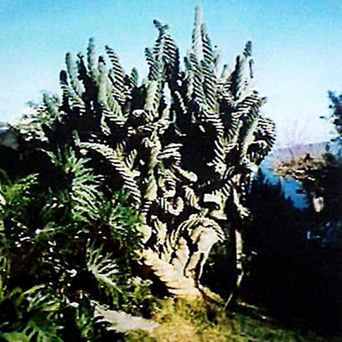 old photpo of original spiral cactus