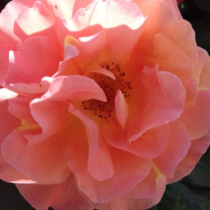 Close up on a pink orange climbing rose blossom
