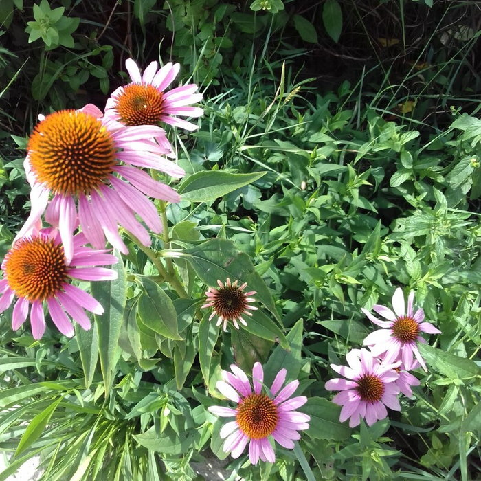 Echinacea flowers and mint plants in the garden