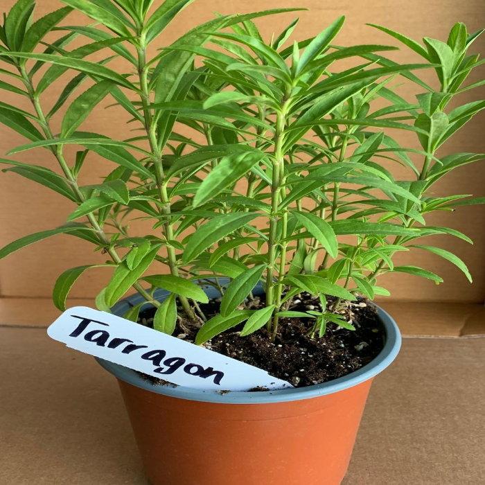 tarragon plant in a pot