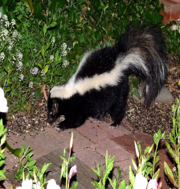 a skunk foraging in a flower bed