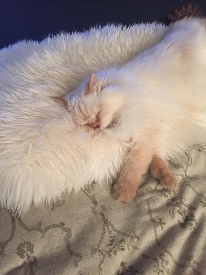 white cat on white fur rug