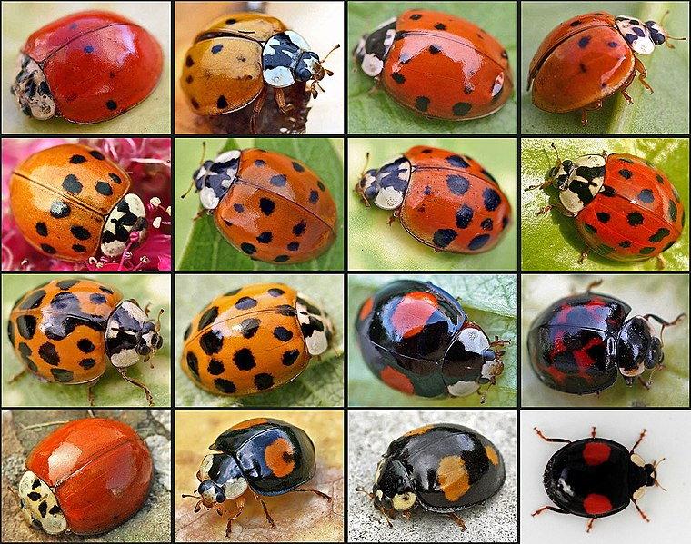 various asian ladybeetles