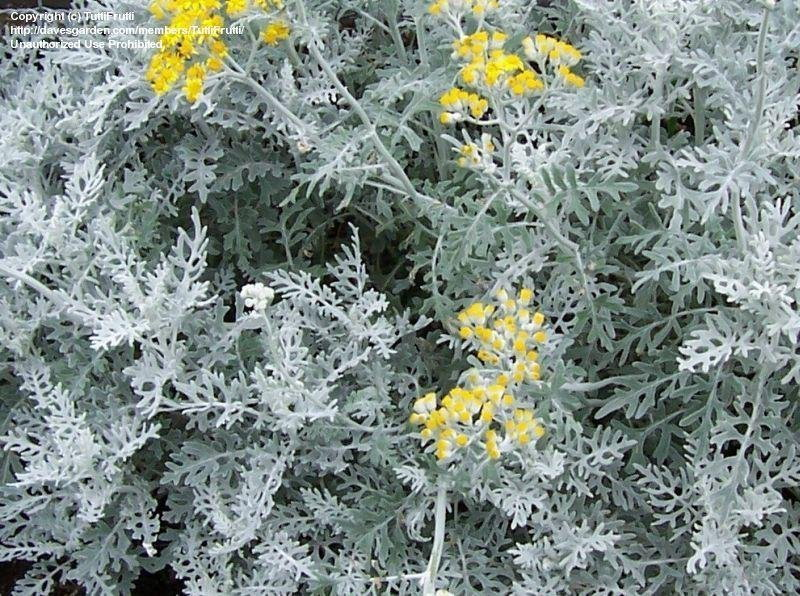 dusty miller in bloom