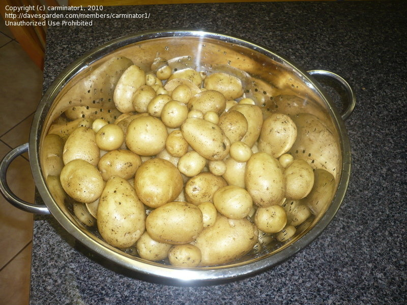 strainer of small potatoes