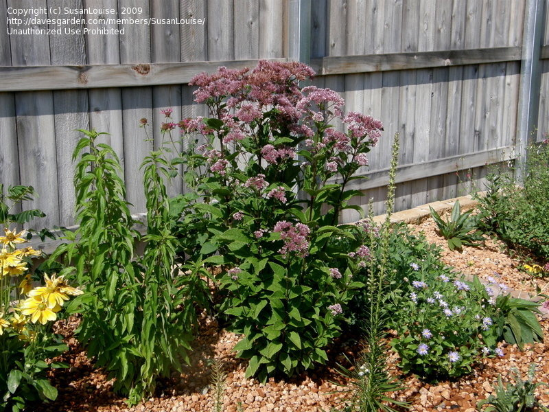 joe pye weed with other perennials