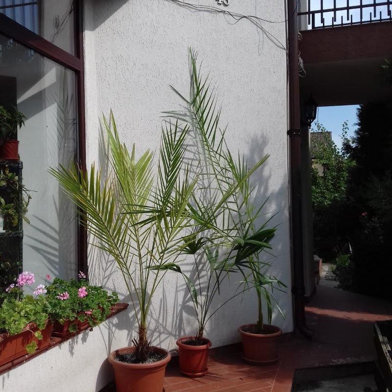 Date palms in pots on my terrace