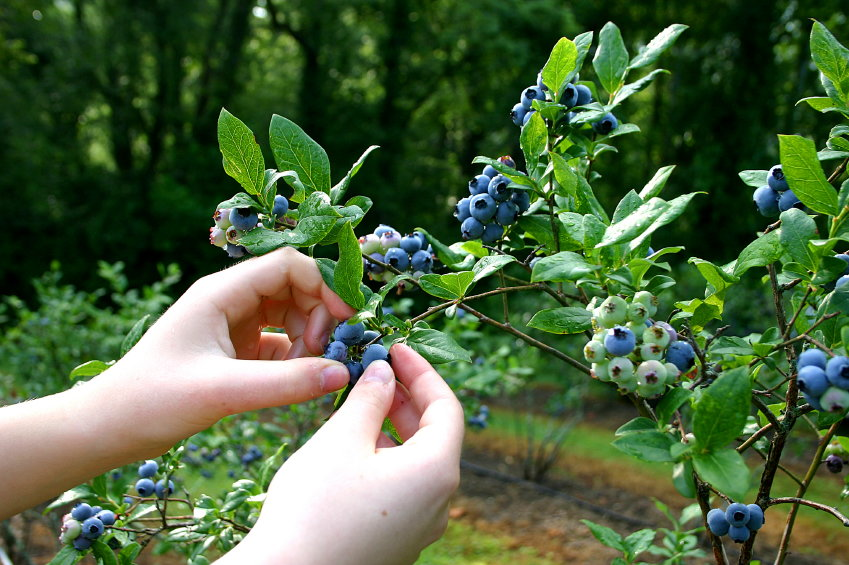 Blueberries being picked from a plant
