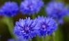 Close on blooming blue cornflowers.