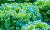 leafy lettuce growing in the frost