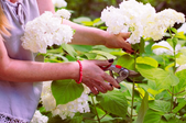 A woman pruning a hydrangea.