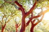 A hickory tree.