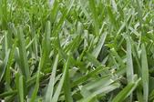 St. Augustine grass.