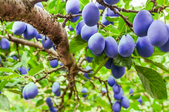 Making a Natural Bug Repellent for Fruit Trees