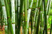 A stand of green bamboo conceals a garden.