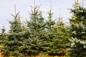 An array of coniferous trees on a Christmas tree farm.