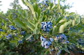 A blueberry bush.