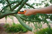 Pruning a palo verde tree.