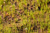 A close-up image of grass seedlings.